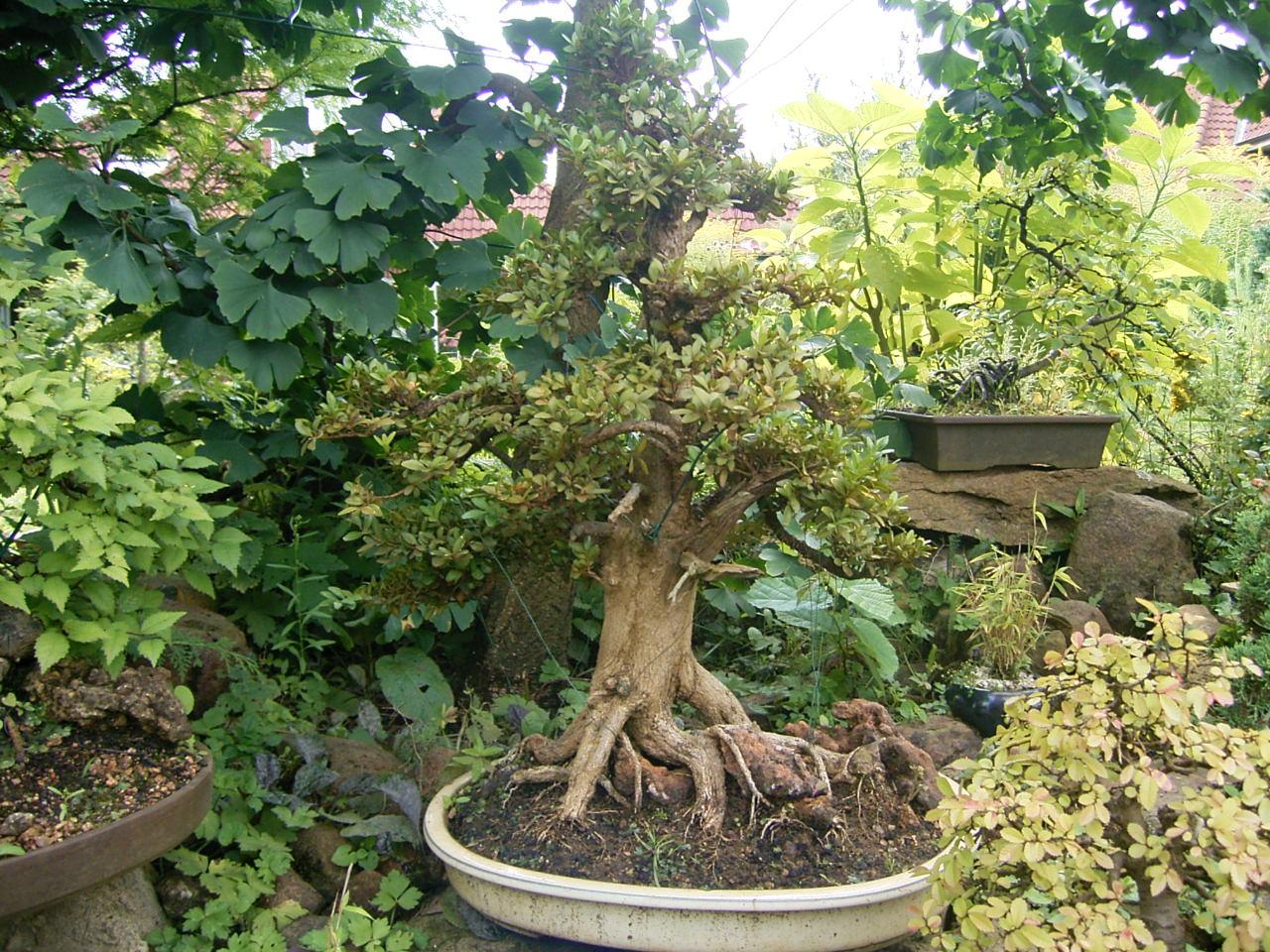 natureart bonsai galerie laubb ume. Black Bedroom Furniture Sets. Home Design Ideas