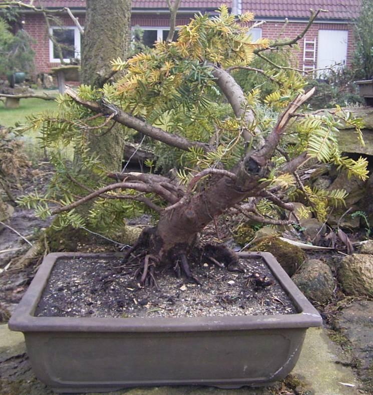 natureart bonsai auch sowas tun. Black Bedroom Furniture Sets. Home Design Ideas